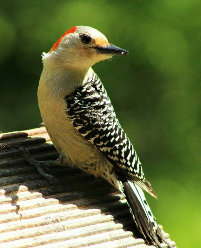 The Red Belly Woodpecker