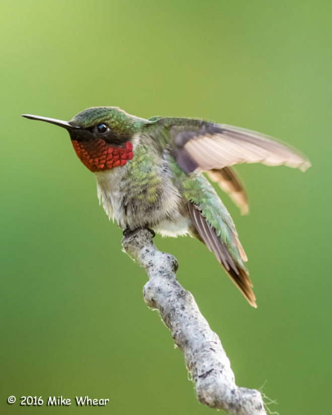 Ruby-throated Wing Motion