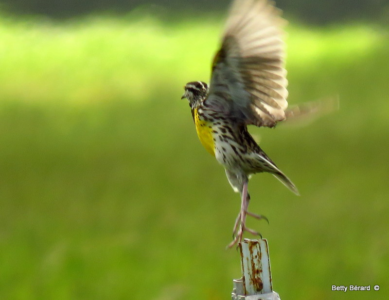 Eastern Meadowlark Take-Off