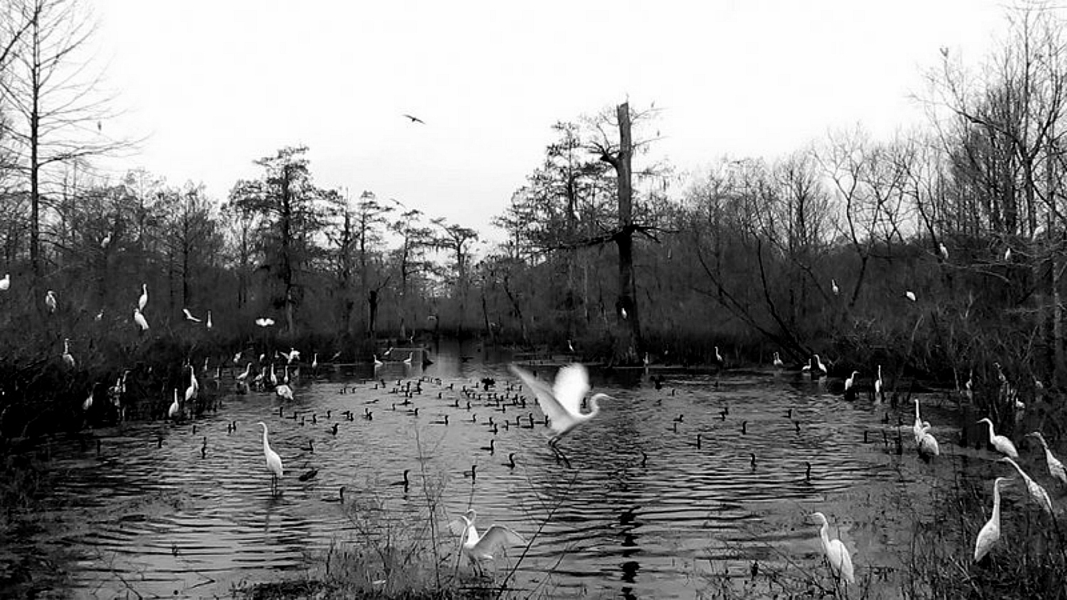 Swamp Cove of Egrets & Cormorants