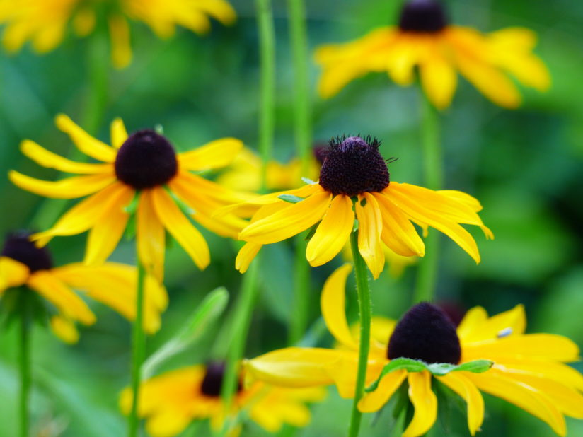 Black-eyed Susans – Summer flowers