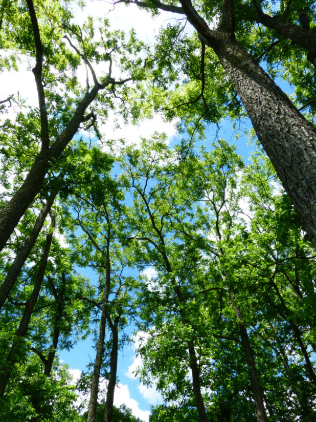 Looking Up at Trees