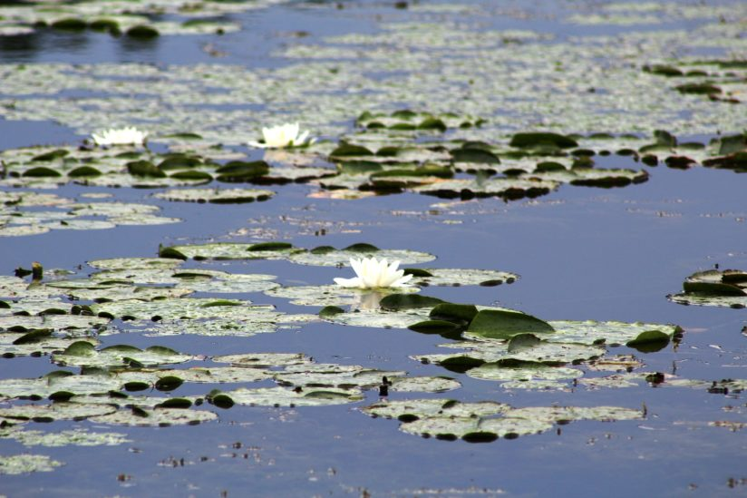 Lily Pads In Bloom