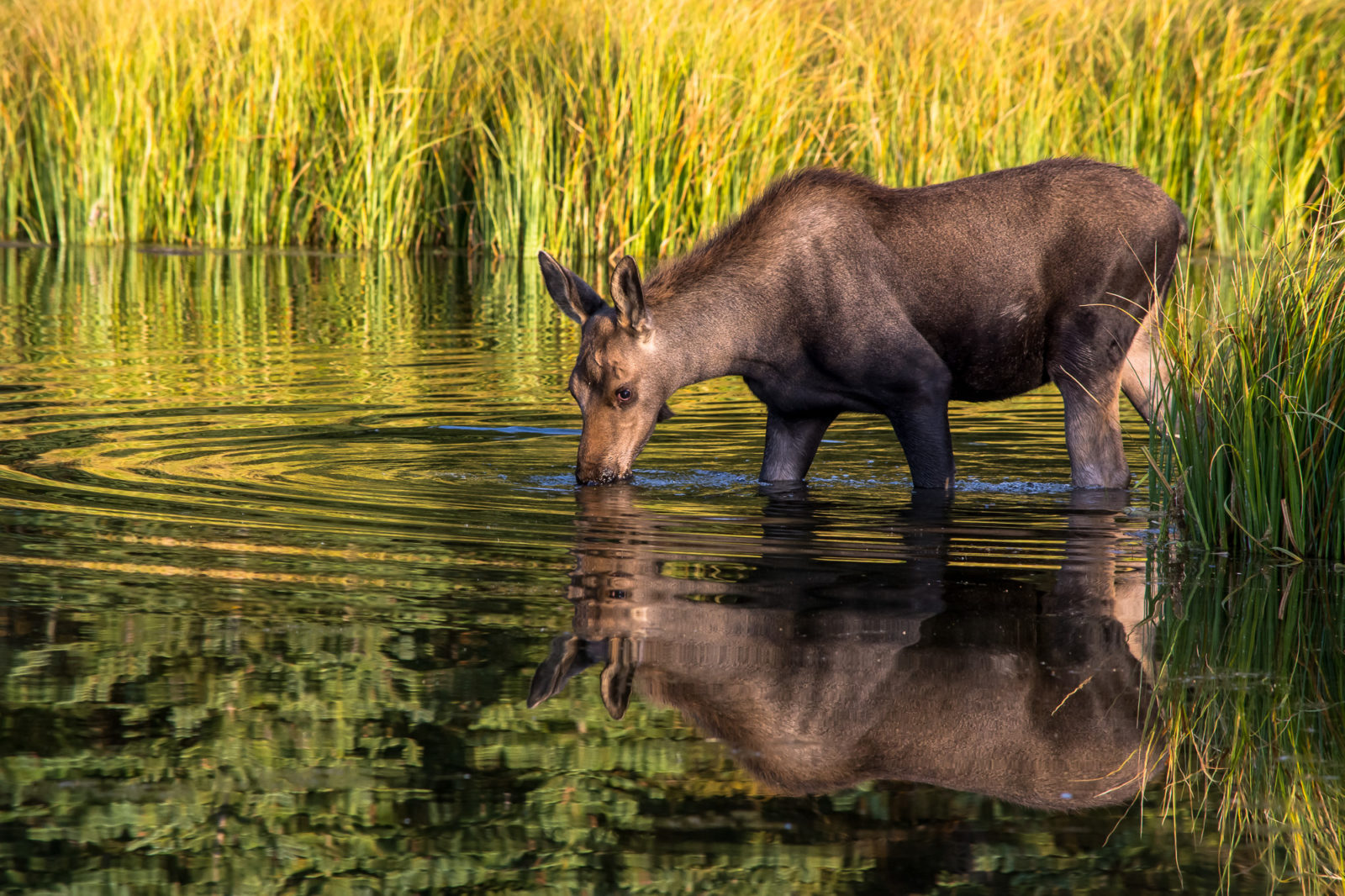 Reflecting Moose