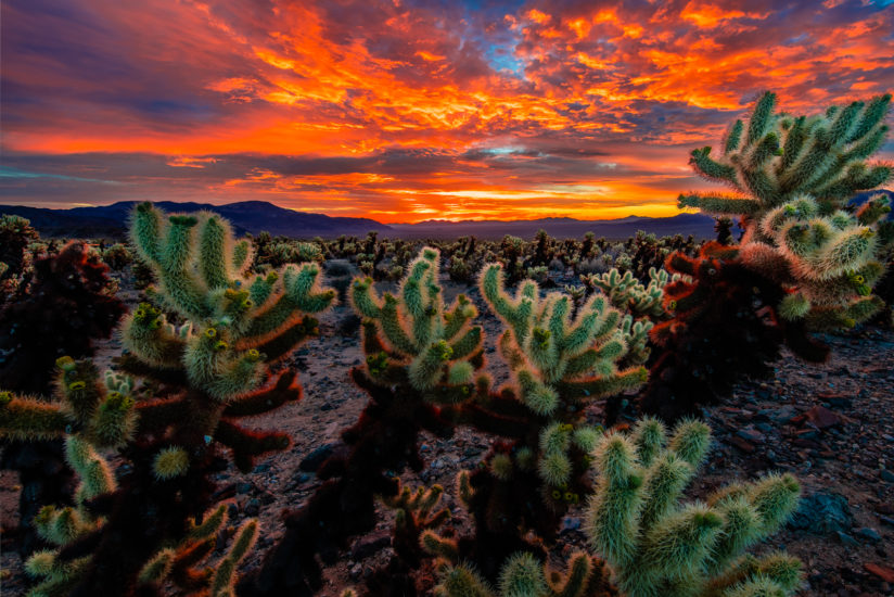 Cholla Twilight