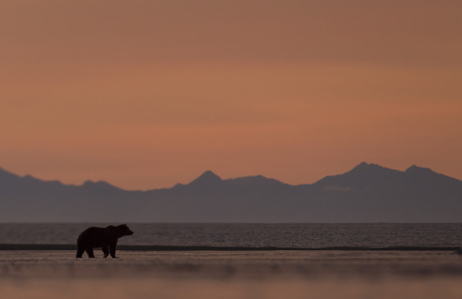 Brown Bear on Beach at Sunrise