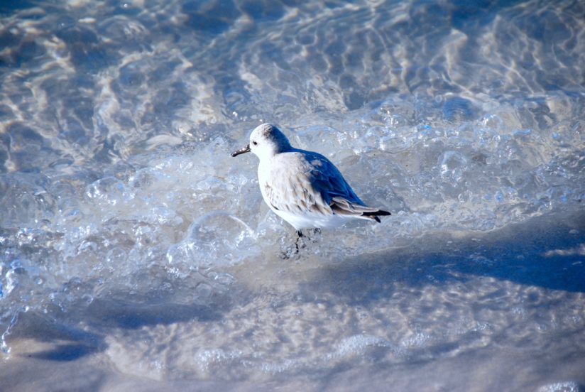 Sandpiper in the Surf