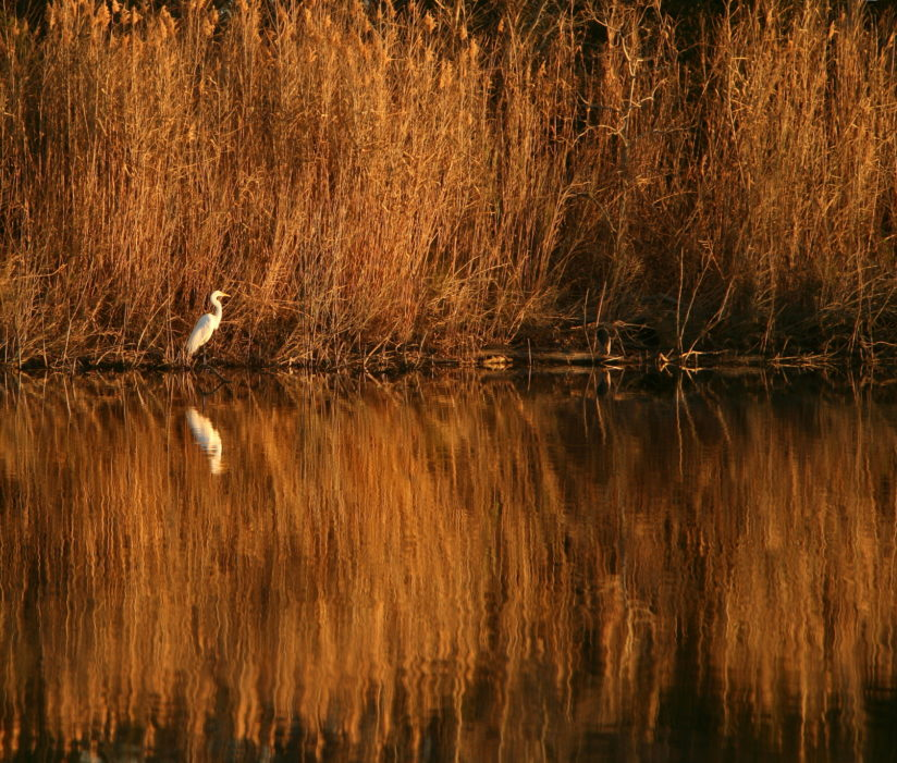 Egret and Grasses