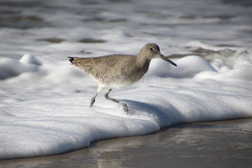 Sand Piper Surf