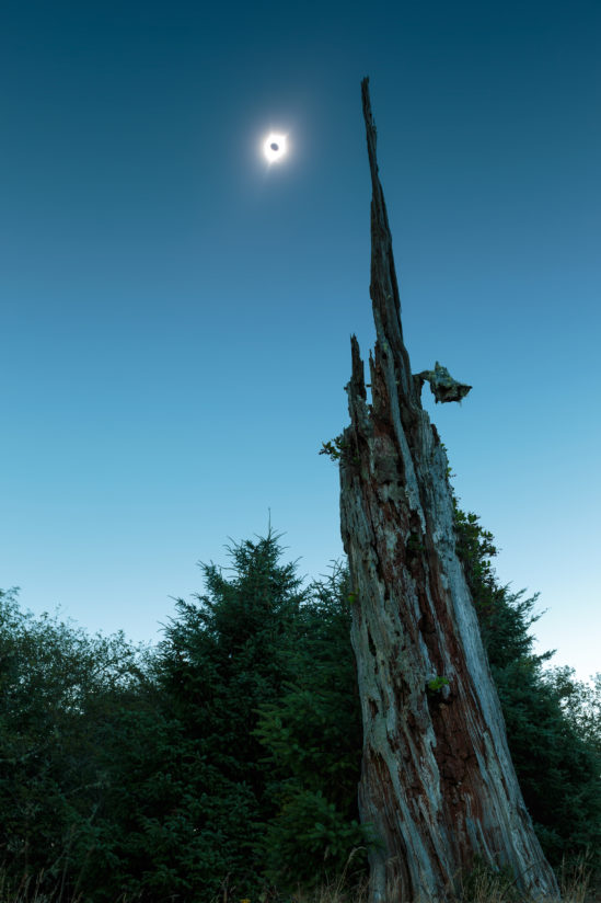 The total solar eclipse and an old tree