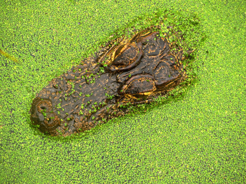 Alligator in Duck Weed