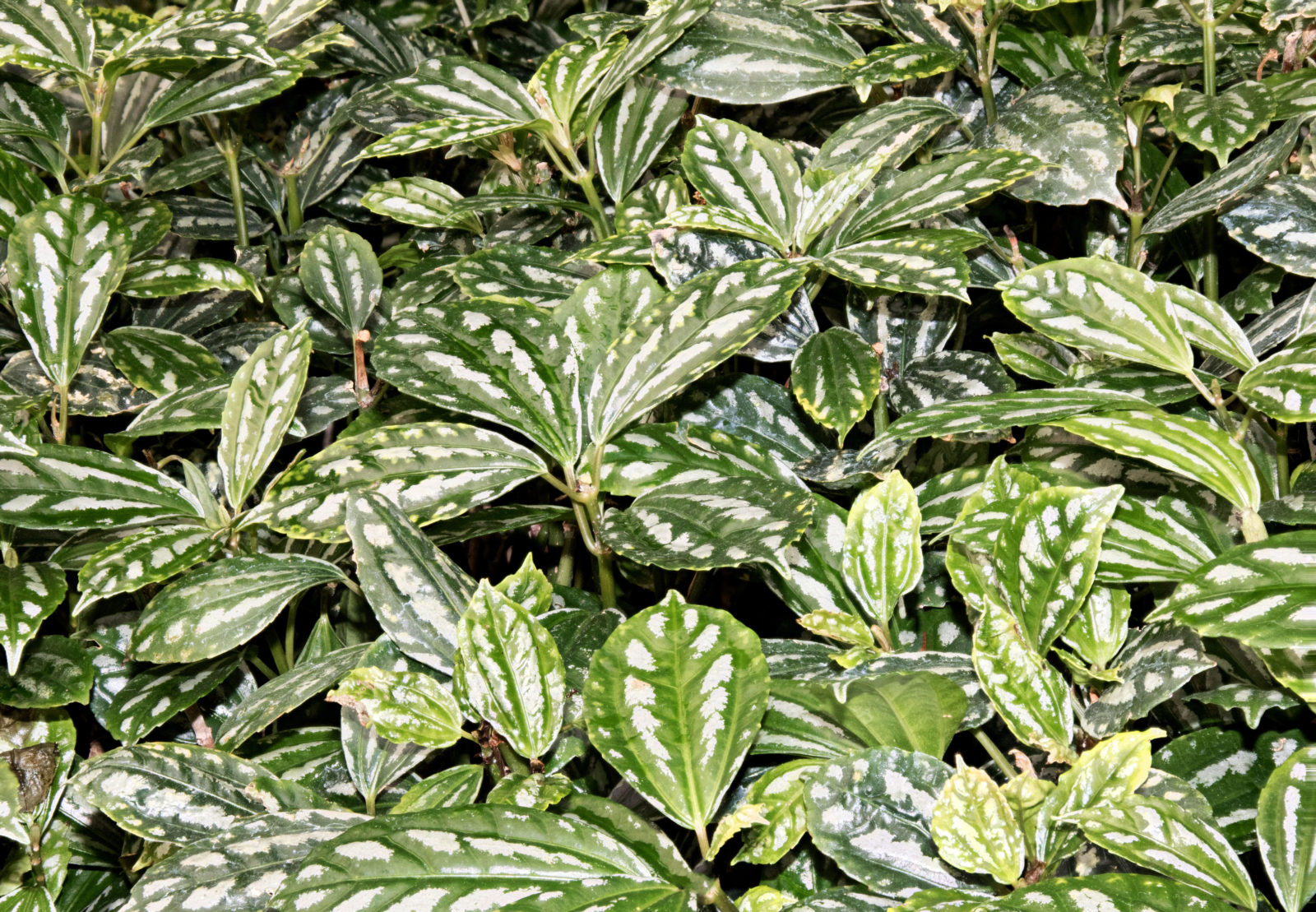 Green and White Patterned Leaves