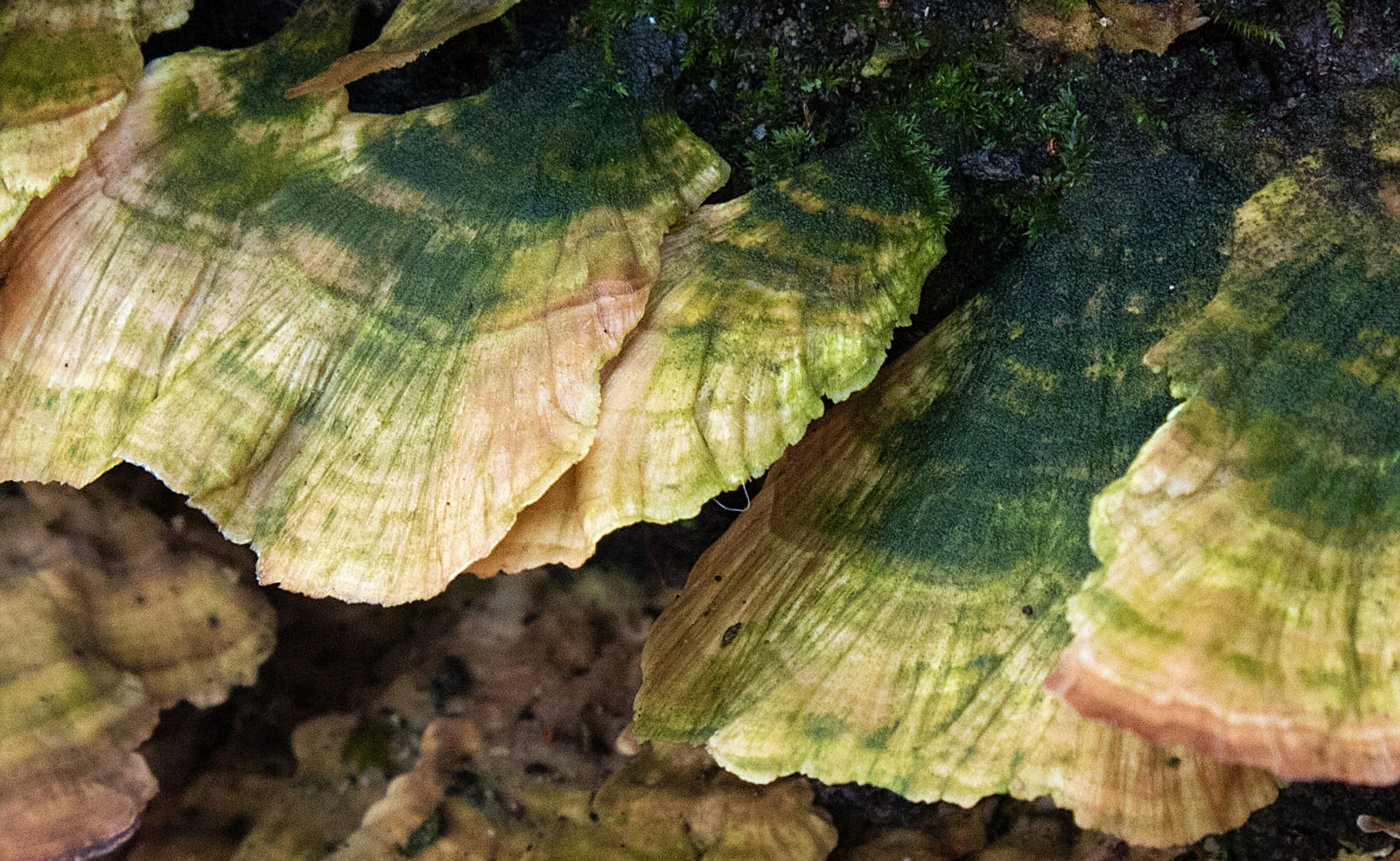Green Tree Fungus