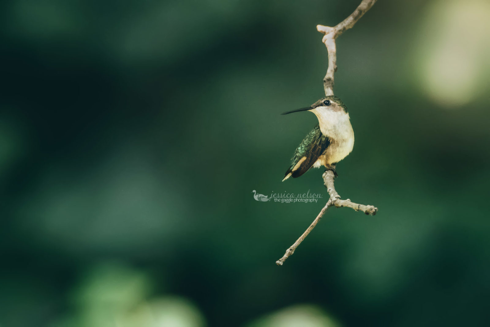 Hummingbird Taking a Rest
