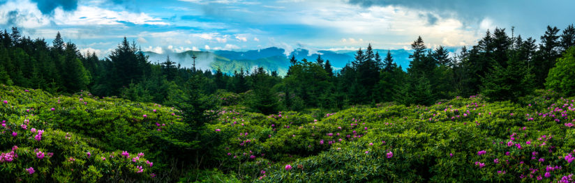 Rhododendrons in the Highlands-Panorama