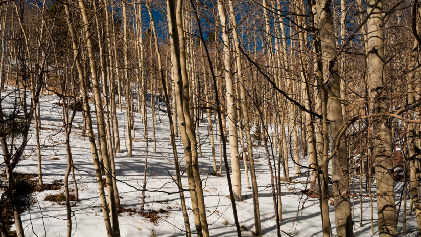Aspen Trunks and Shadows