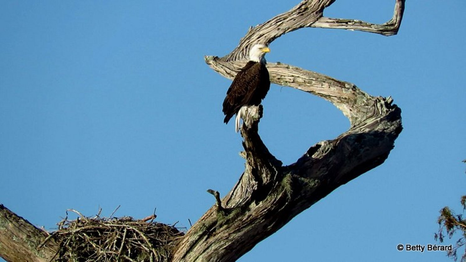 Bald Eagle on Angled Tree