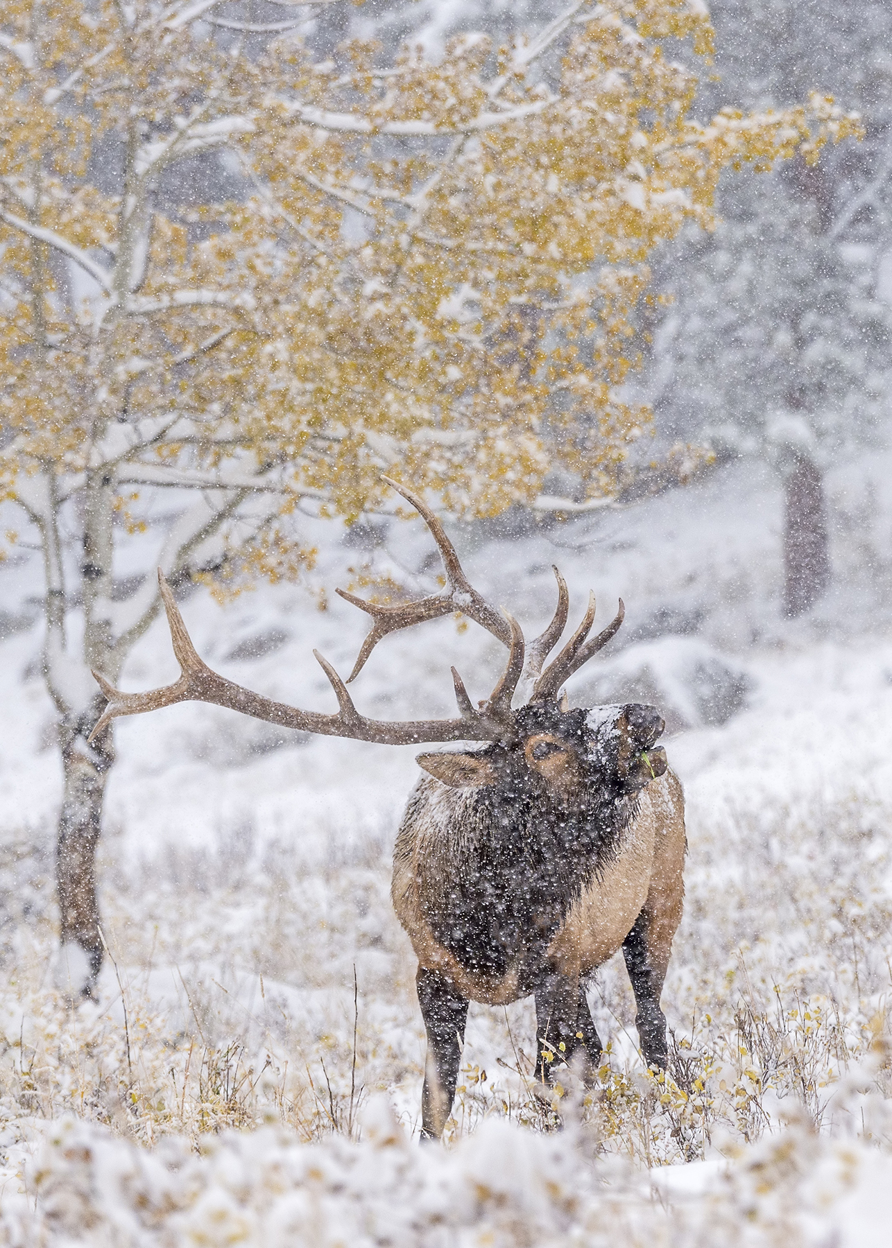 Elk in Falling Snow
