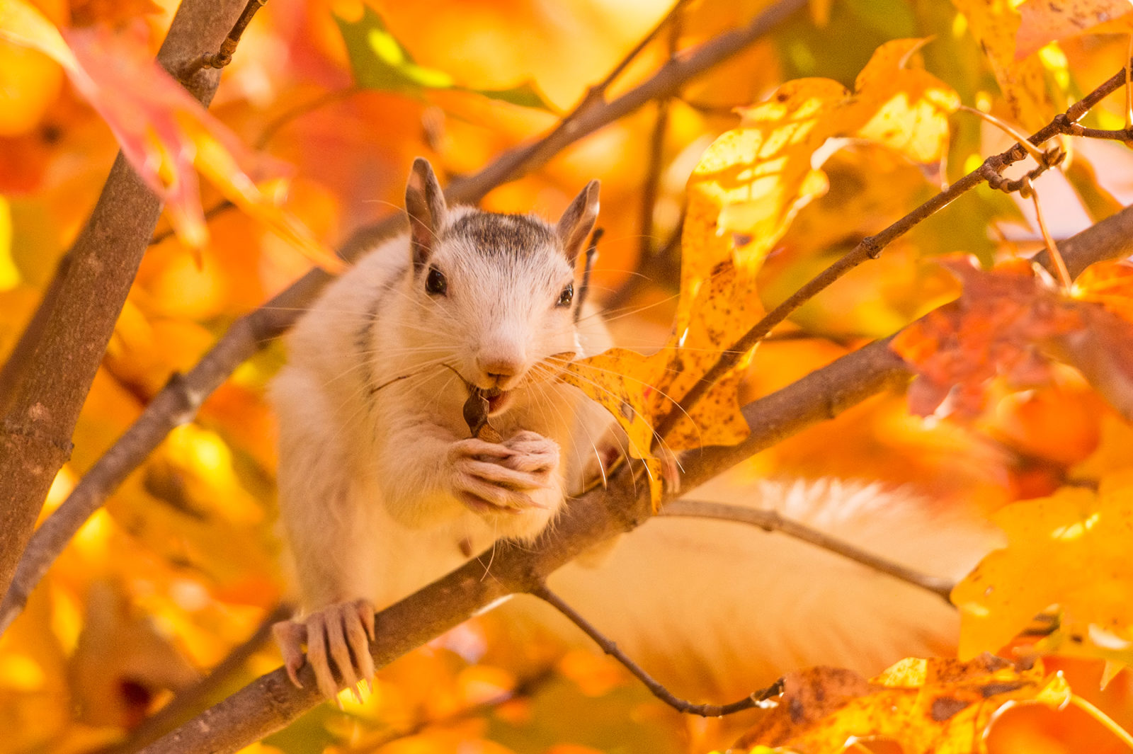 White Squirrel in Fall Colors