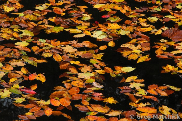 Autumn Leaves on Bay Creek