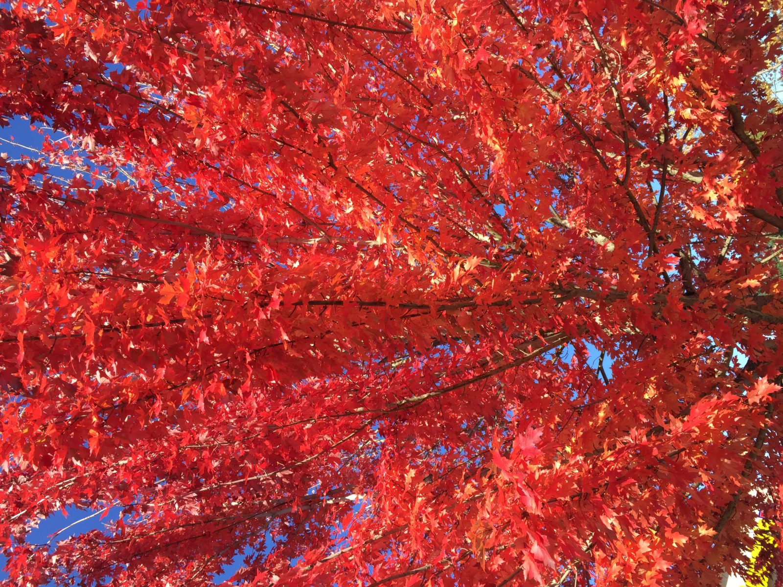 Autumn Limbs and Leaves