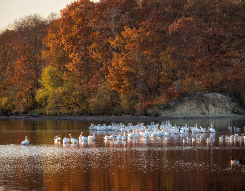 White Pelicans on Lake Decatur