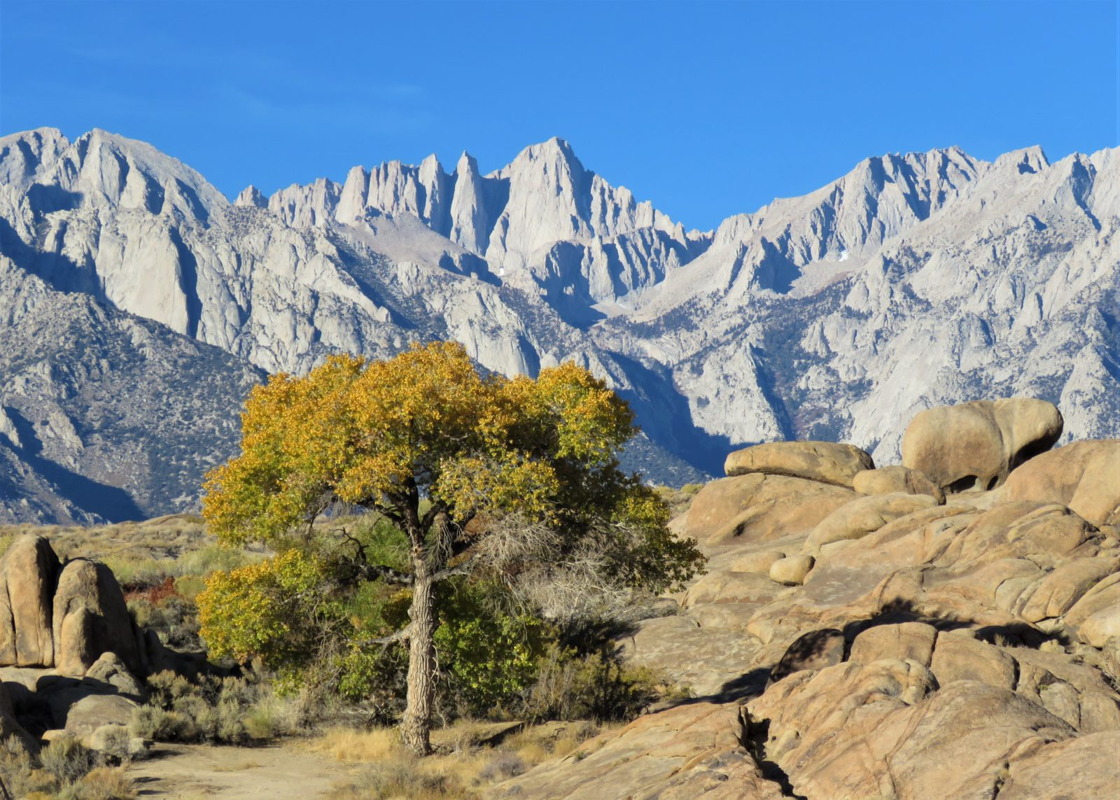 Lone Cottonwood in Alabama Hills