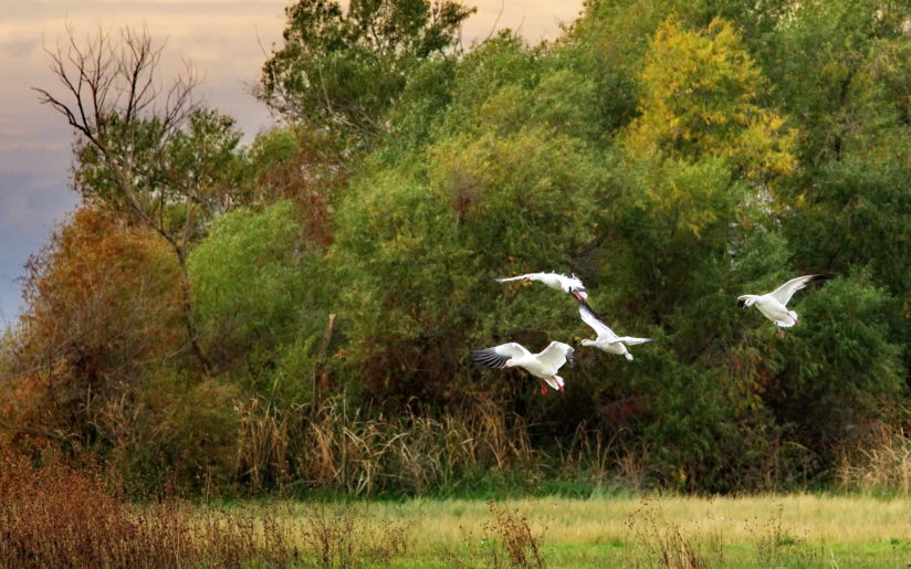 Returning Snow Geese