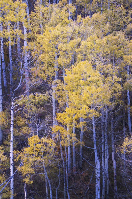 Last Light on Aspens