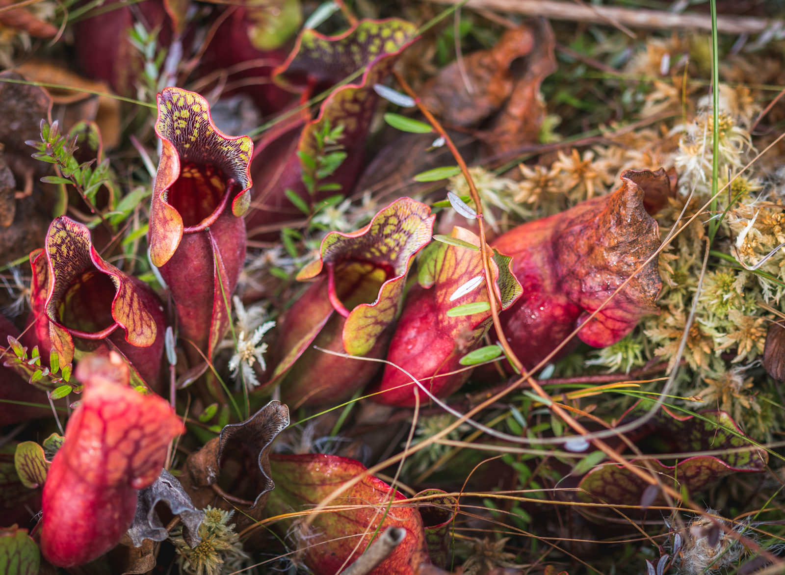 Fall Pitcher Plant