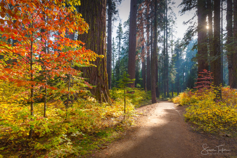 Sunlit Autumn Redwood Trail