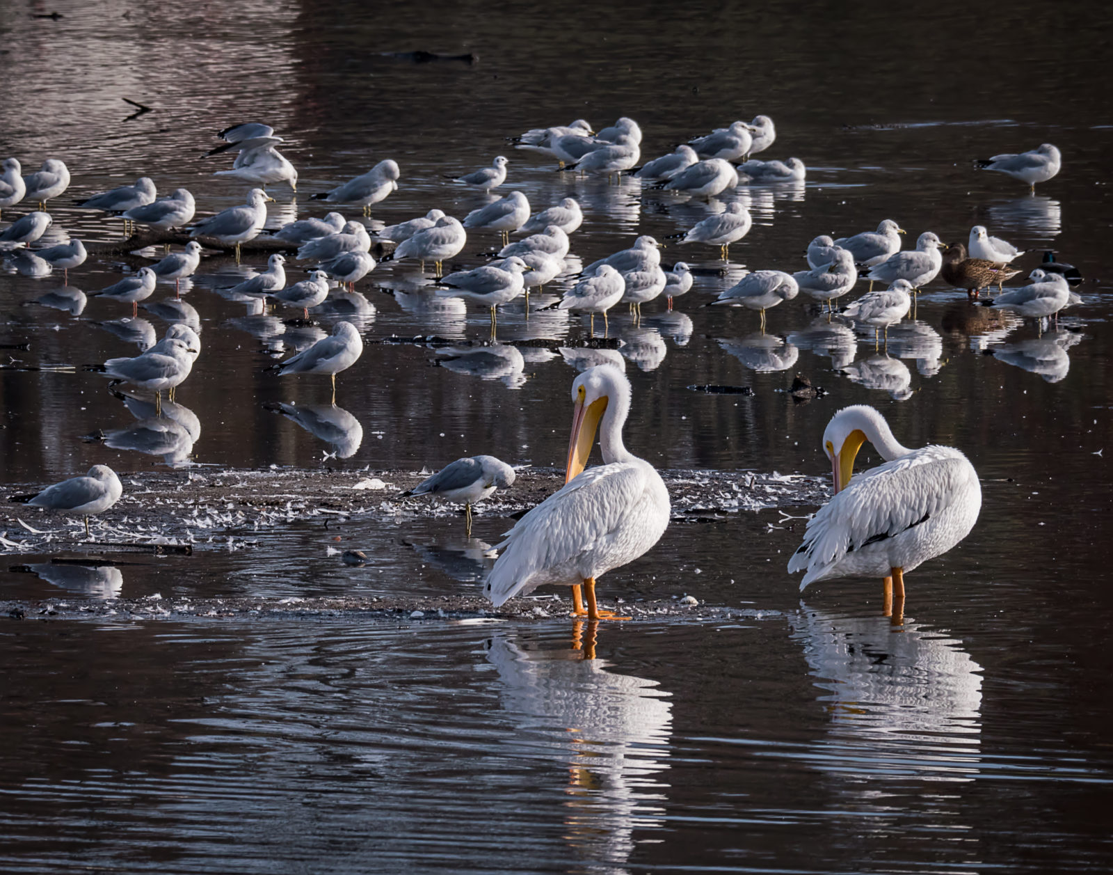 White Pelicans and Gulls