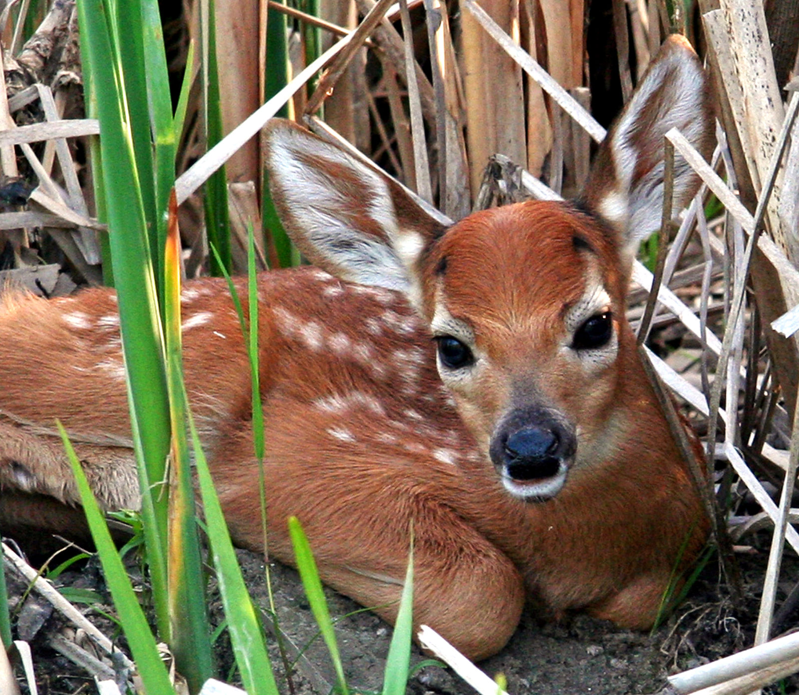 Fawn at River's Edge
