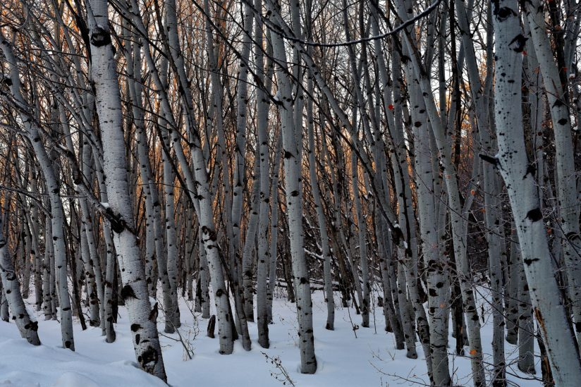 Winter Aspen Grove