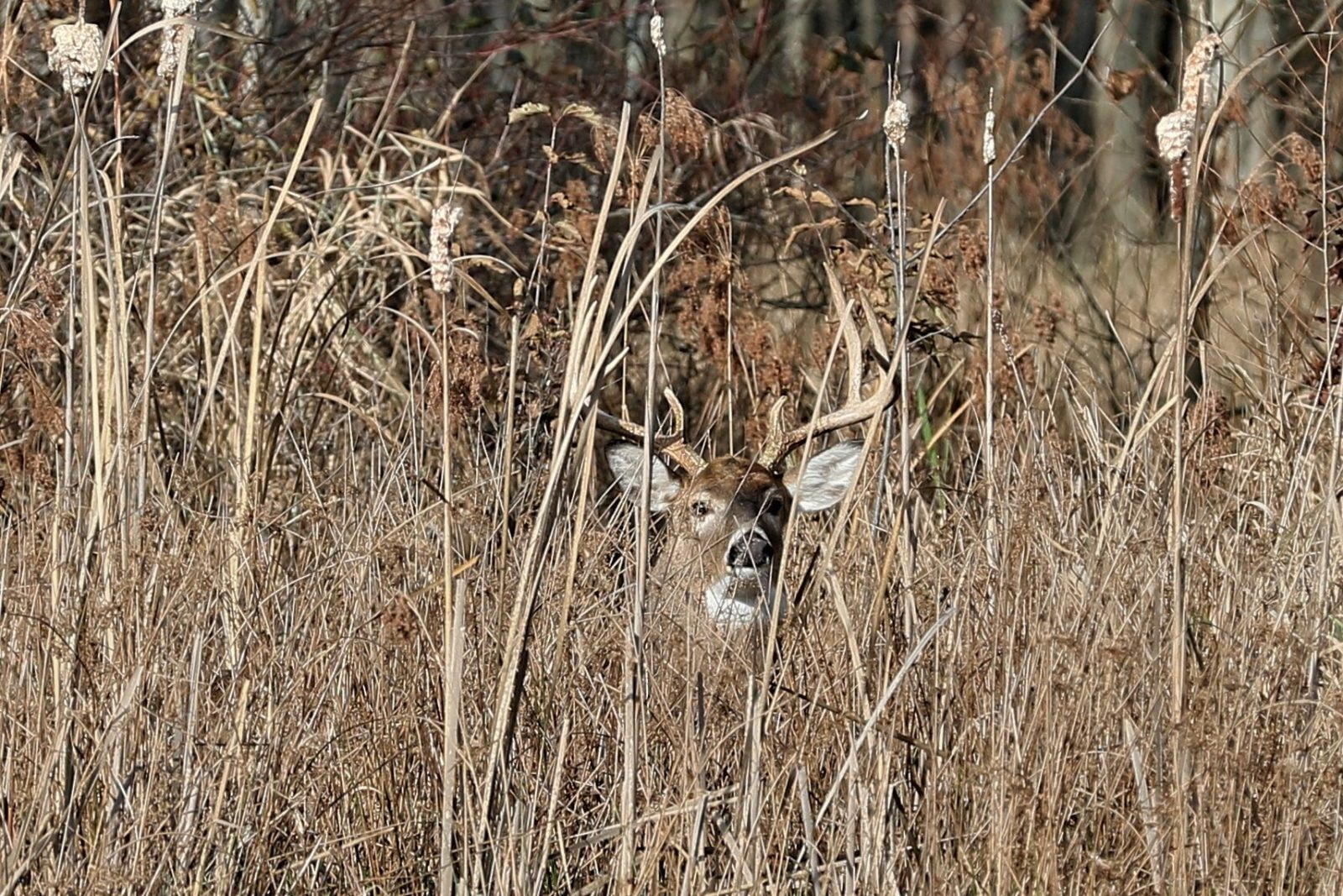 The Cattail Buck