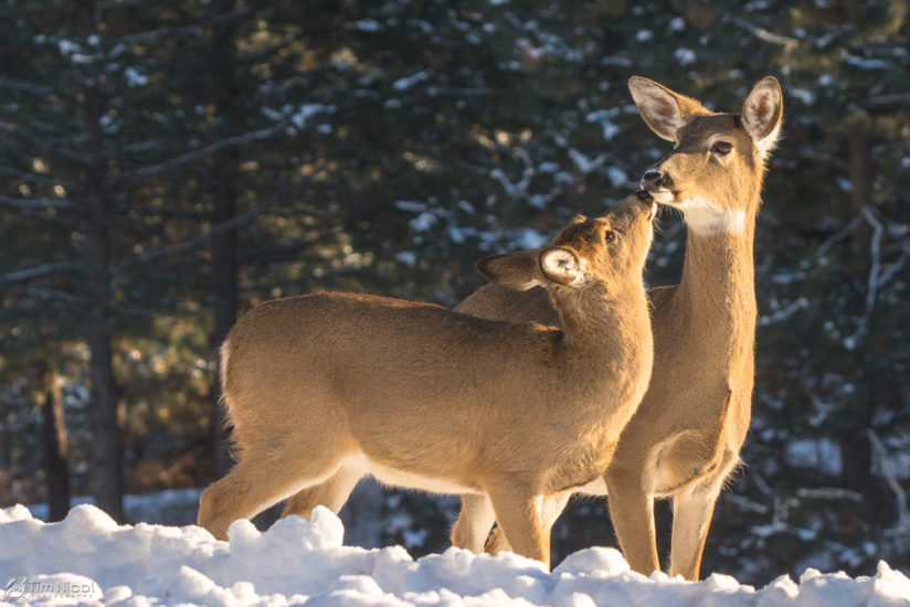 Whitetail Doe & Fawn