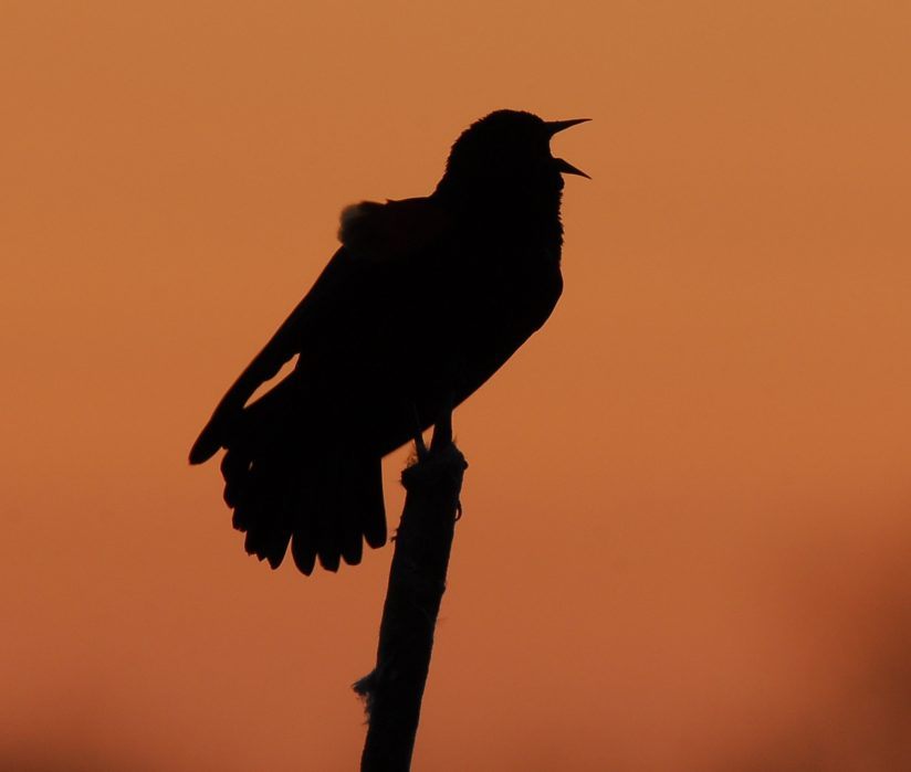 Red Winged Blackbird calling out