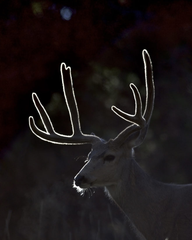 Backlit buck