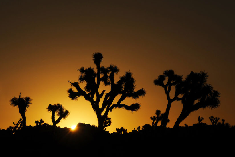 Joshua Trees at Sunset