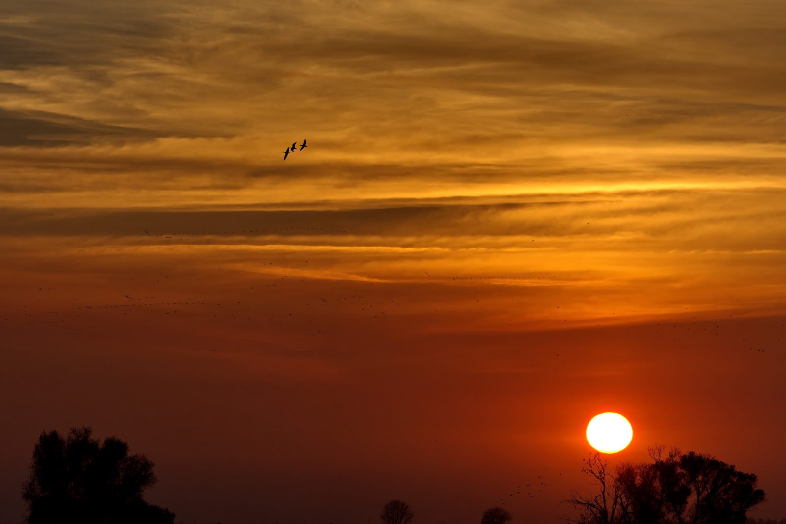 Returning Snow Geese at Sunset