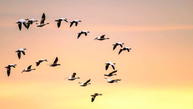 Early Morning Snow Geese
