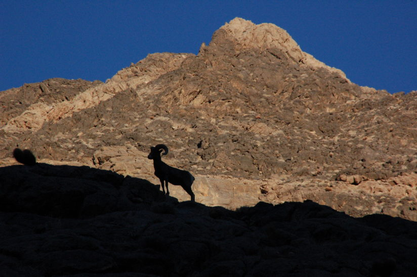Bighorn Silhouette in Death Valley