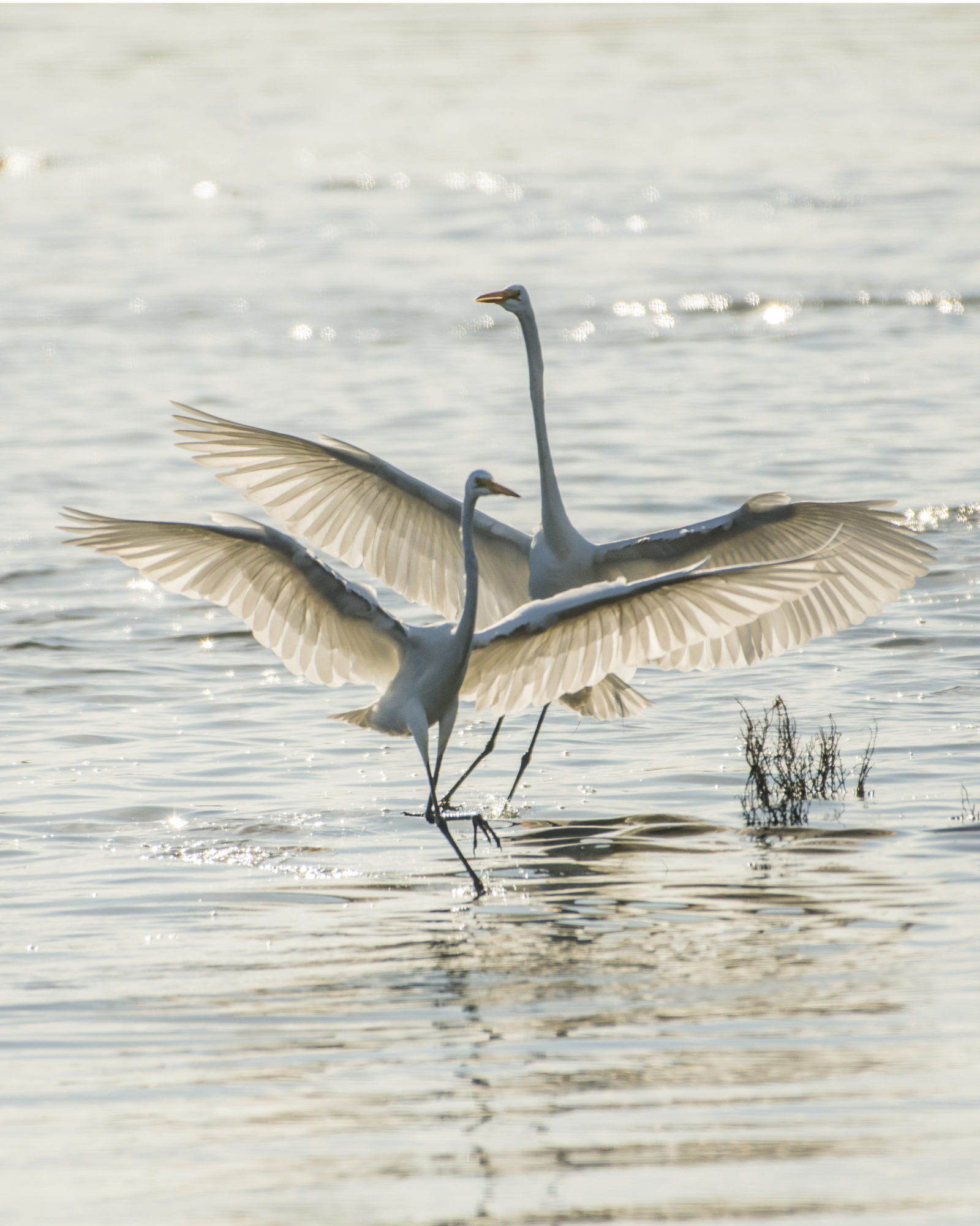 The Dance of the Great Egrets
