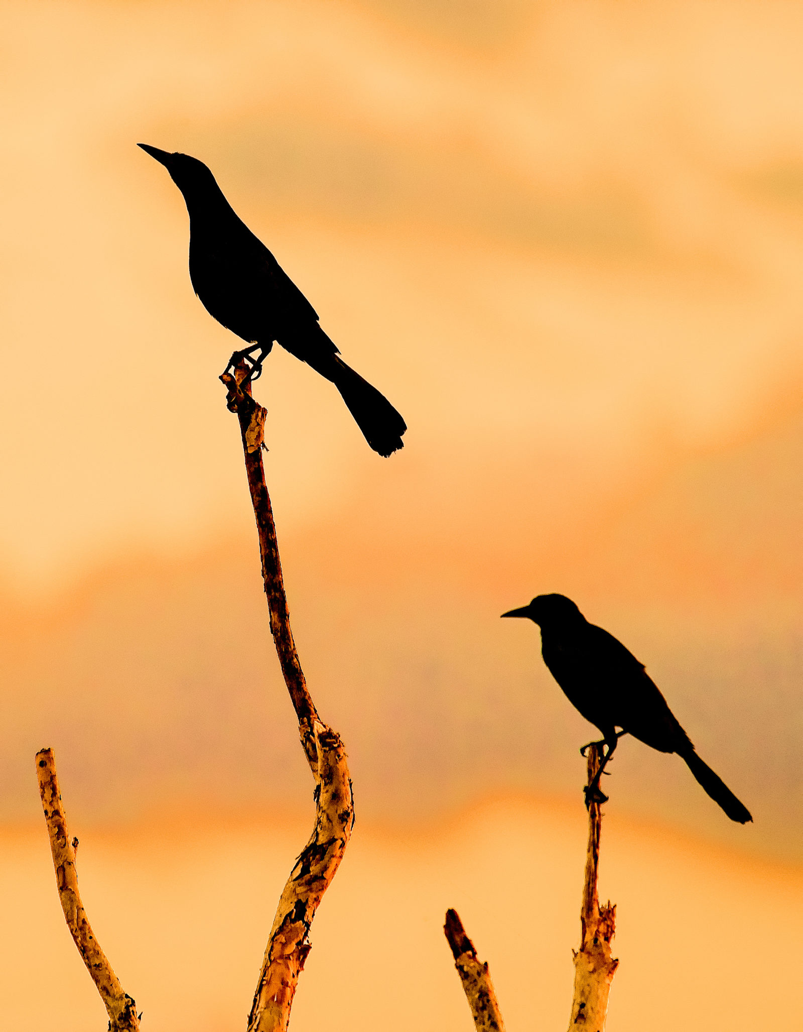 Boattail Grackles