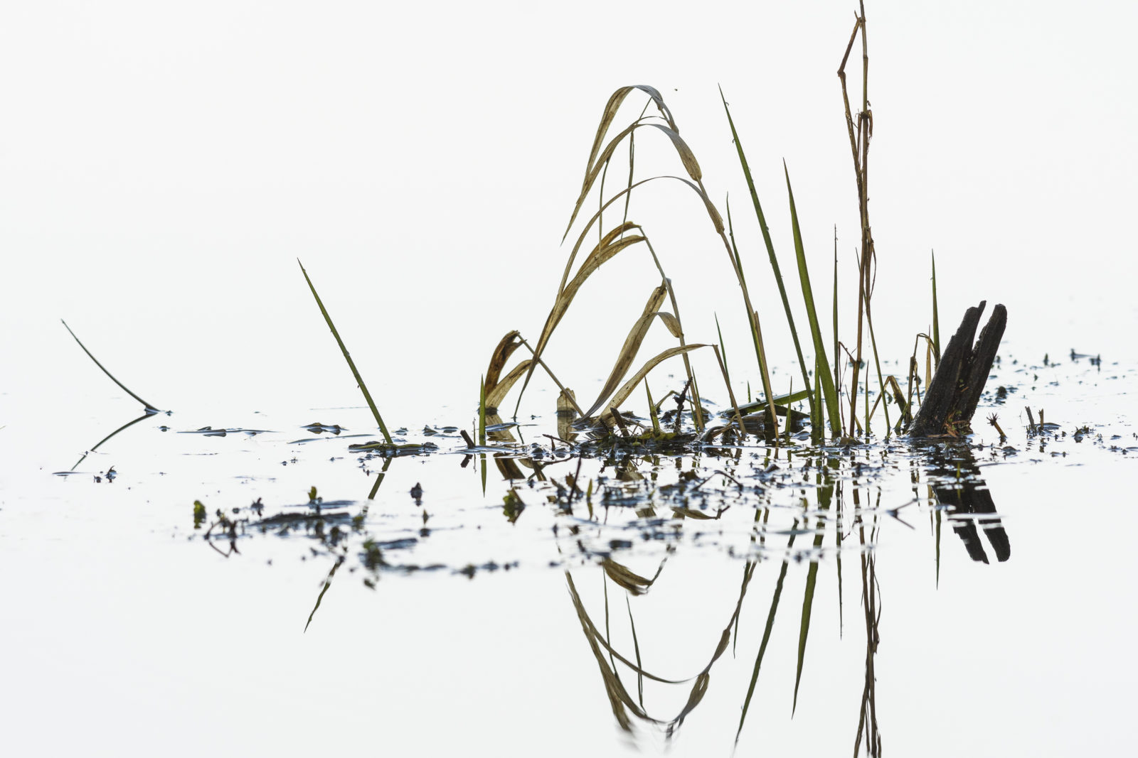 Aquatic Grass