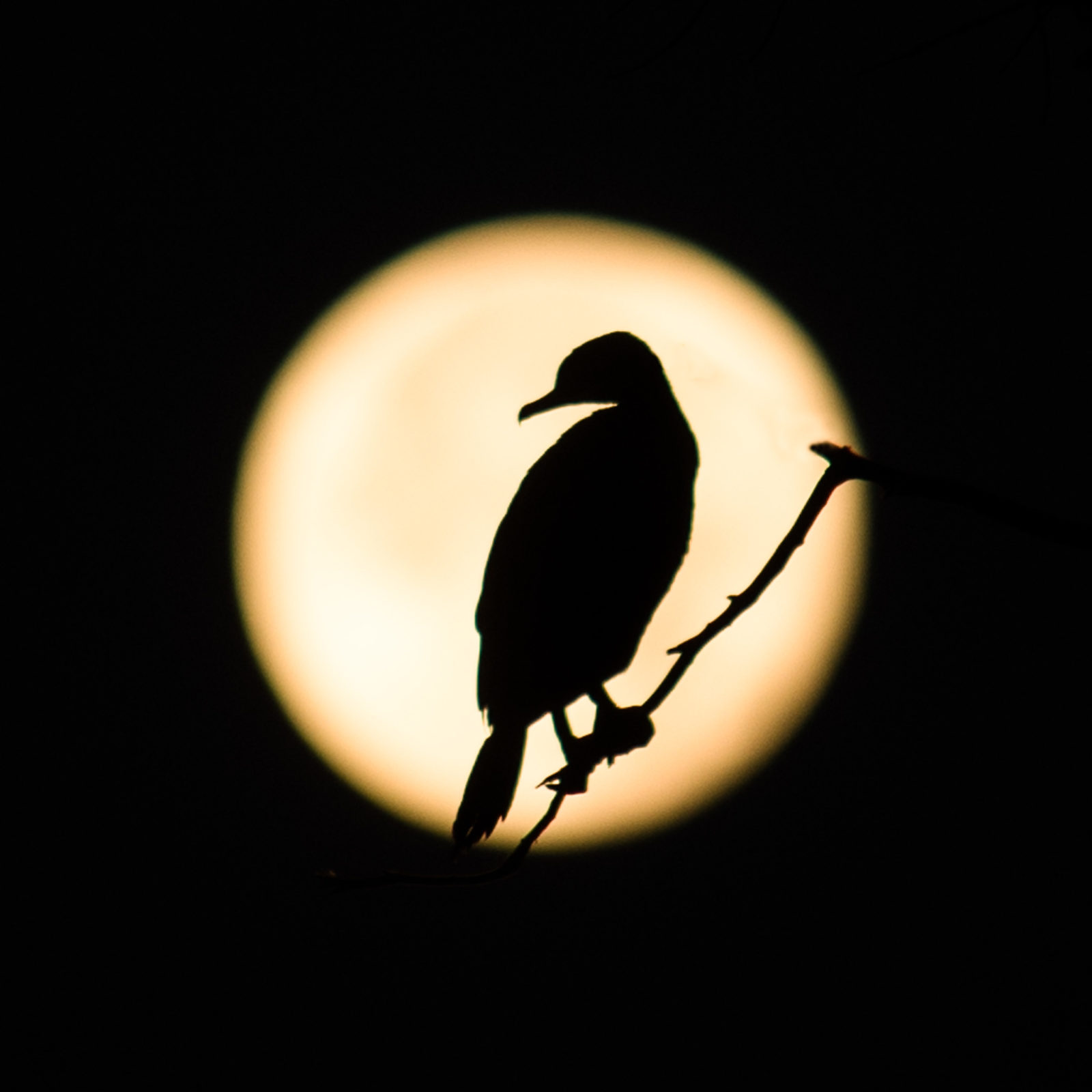 Full moon cormorant