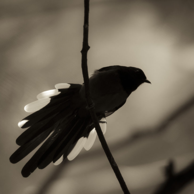 Tail Feathers #1