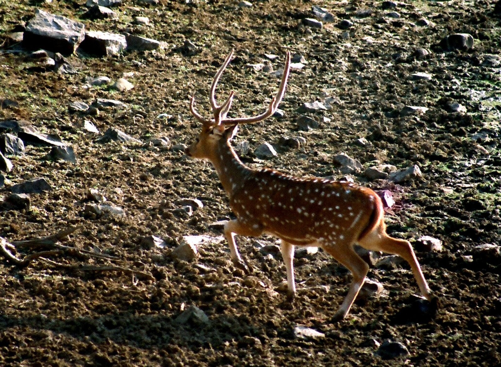 A SPOTTED DEER ON THE RUN