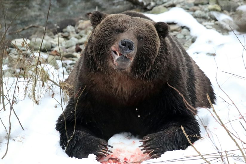 Grinning Grizzly