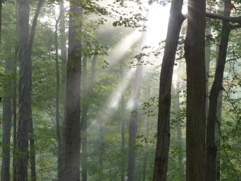 Forest Fog and Sun Rays